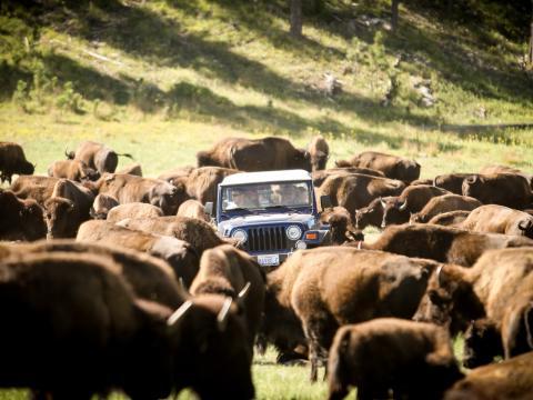 Rassemblement annuel pour déplacer le troupeau de 1300bisons dans le Custer State Park
