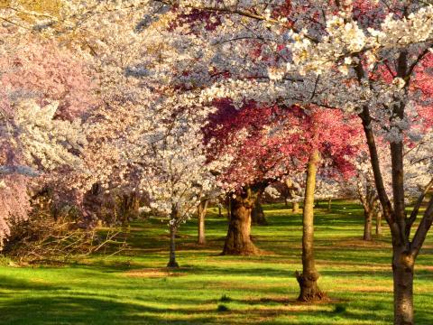 Cerisiers en fleurs lors du Cherry Blossom Festival dans Branch Brook Park