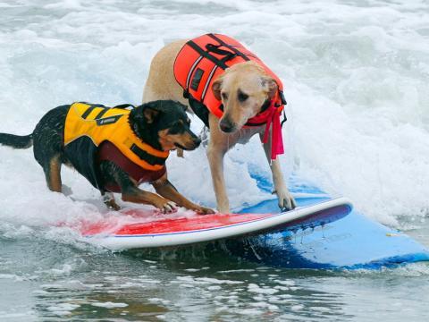 Surf City Surf Dog Competition's tough competitors