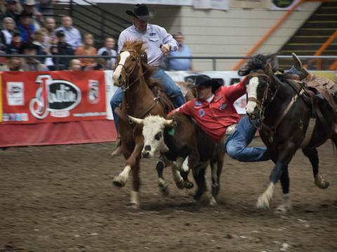 Prise du veau au lasso au Black Hills Stock Show and Rodeo